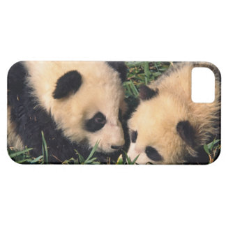 Two panda cubs in the bamboo bush, Wolong, iPhone SE/5/5s Case