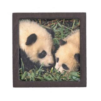 Two panda cubs in the bamboo bush, Wolong, Keepsake Box