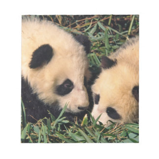 Two panda cubs in the bamboo bush, Wolong, Notepad