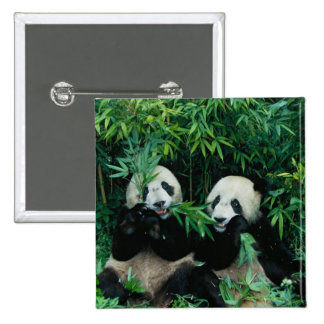 Two pandas eating bamboo together, Wolong, 2 2 Inch Square Button
