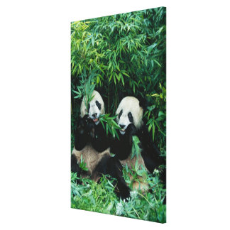 Two pandas eating bamboo together, Wolong, 2 Canvas Print