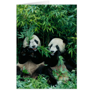 Two pandas eating bamboo together, Wolong, 2 Card