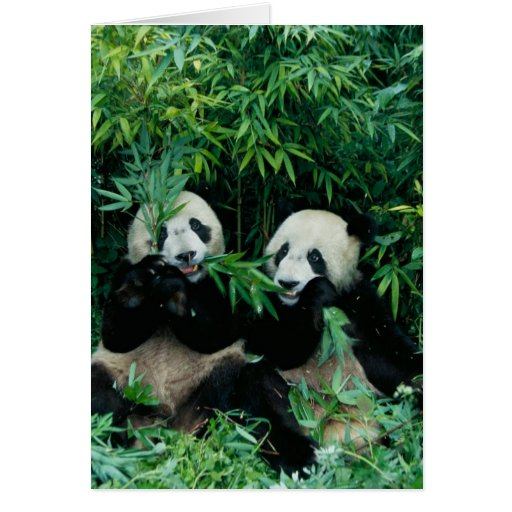 Two pandas eating bamboo together, Wolong, 2 Cards