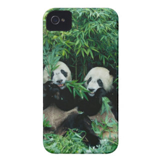 Two pandas eating bamboo together, Wolong, 2 Case-Mate iPhone 4 Case