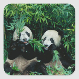 Two pandas eating bamboo together, Wolong, 2 Square Sticker