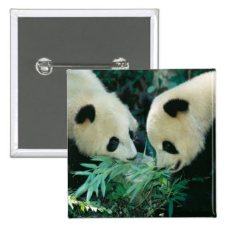 Two pandas eating bamboo together, Wolong, 2 Inch Square Button