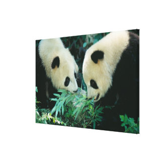 Two pandas eating bamboo together, Wolong, Canvas Print