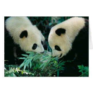 Two pandas eating bamboo together, Wolong, Card