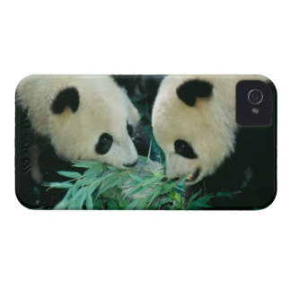 Two pandas eating bamboo together, Wolong, iPhone 4 Case-Mate Case