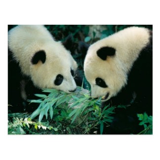 Two pandas eating bamboo together, Wolong, Postcard