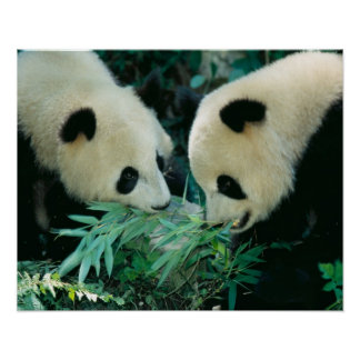 Two pandas eating bamboo together, Wolong, Poster