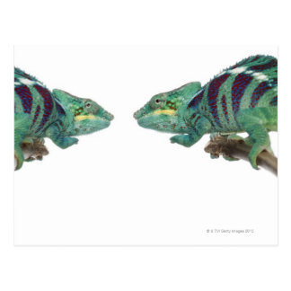 Two Panther Chameleons Nosy Be (Furcifer) Postcard