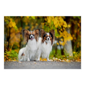 Two Papillon dogs in autumn Poster