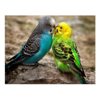 Two Parakeets Post Card