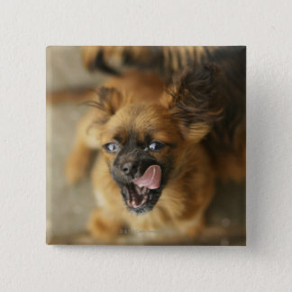 Two Pekingese dogs. Button
