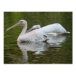 Two Pelicans Postcard
