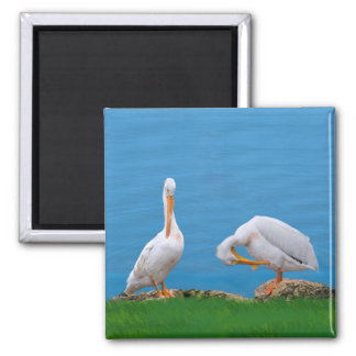 Two Pelicans with an Itch Magnet