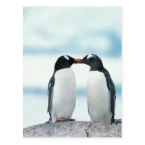 Two Penguins touching beaks Postcard
