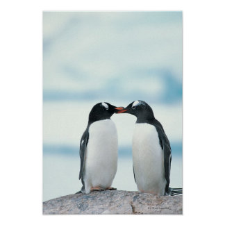 Two Penguins touching beaks Poster