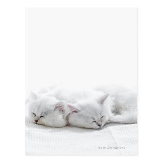 Two Persian Kittens Postcard