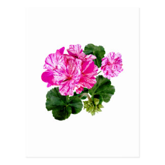 Two Pink and White Striped Geraniums Postcard