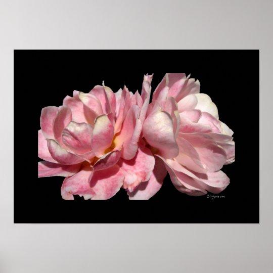 Two Pink Roses Poster Black Print