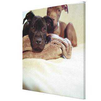Two pit bull terriers sitting indoors, close-up canvas print