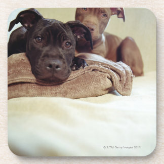 Two pit bull terriers sitting indoors, close-up coaster