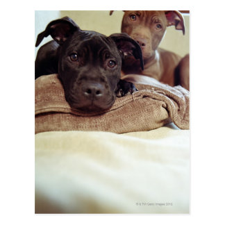 Two pit bull terriers sitting indoors, close-up postcard
