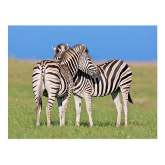 Two Plains zebra (Equus quagga) on coastal Postcard