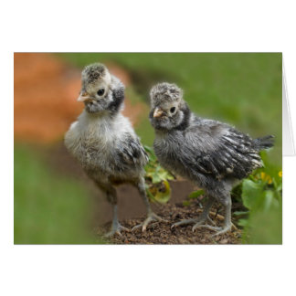 Two Polish Chicks - Cute Baby Chickens Card