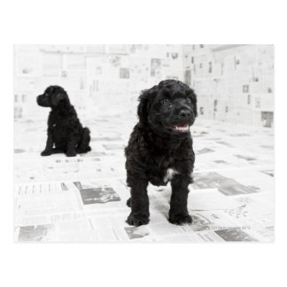 Two Portuguese Water Dog puppies in a room Postcard