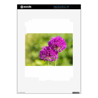 Two purple flowers of ornamental onions together iPad 2 decals
