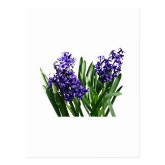 Two Purple Hyacinths Postcard