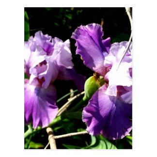 Two Purple Iris Flowers Postcard