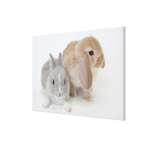 Two rabbits.Netherland Dwarf and Holland Lop. Gallery Wrapped Canvas