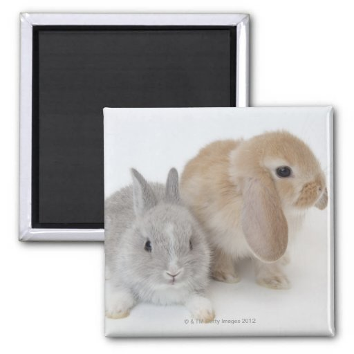 Two rabbits.Netherland Dwarf and Holland Lop. 2 Inch Square Magnet