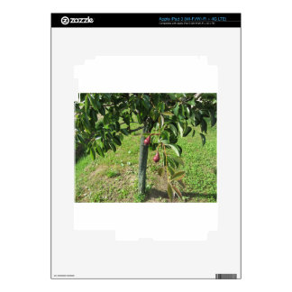 Two red pears hanging on a pear tree Tuscany Italy Decals For iPad 3