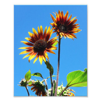 Two Red Sunflowers 8x10 Photo Print