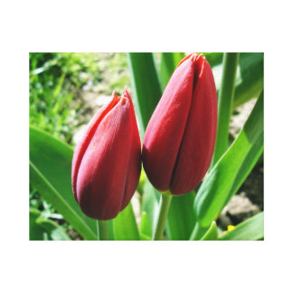 Two Red Tulips Look Like Two Lovers Canvas Print