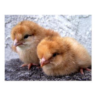 two rhode island red chicks photo postcard