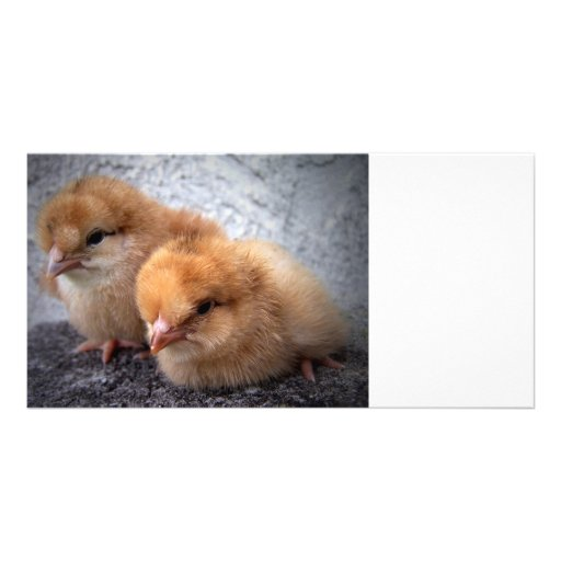 two rhode island red chicks photo vignette personalized photo card