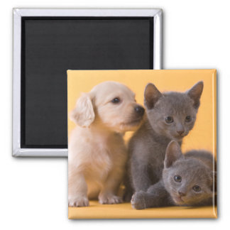 Two Russian Blue Kittens And Two Dachshund Puppies 2 Inch Square Magnet
