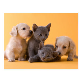 Two Russian Blue Kittens And Two Dachshund Puppies Postcard