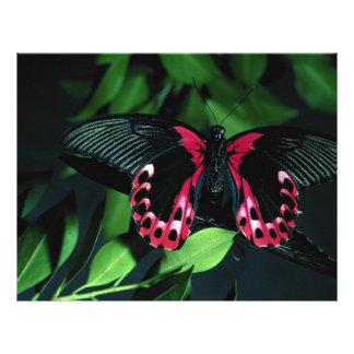 Two scarlet mormon butterflies breeding flyers
