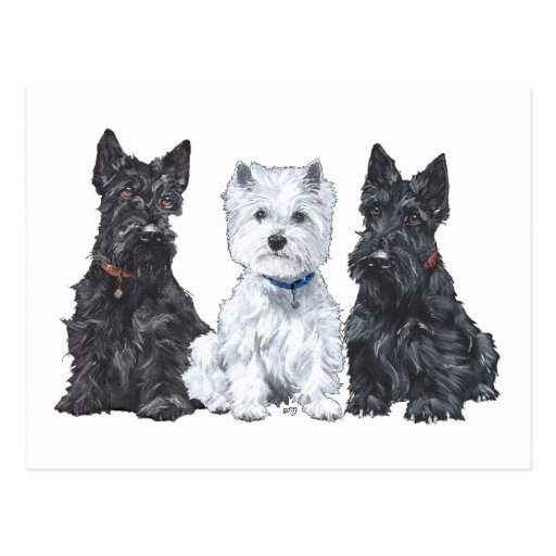 Two Scotties and a Westie Postcard