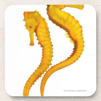 Two Sea Horses shoot on a white background in a Coaster