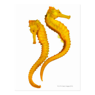 Two Sea Horses shoot on a white background in a Post Cards