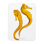 Two Sea Horses shoot on a white background in a Vinyl Magnets