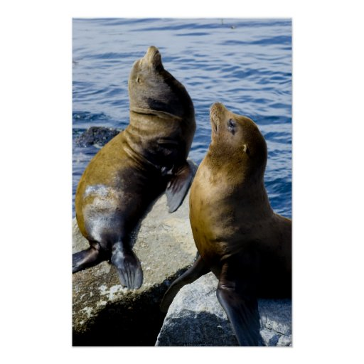 Two Sea Lions Sunning Poster